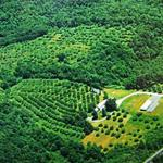 An aerial view of Kenburn Orchards showing the 40 acres of open orchards but only a small fraction of the 110 acres of forest.