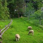 Caretaker Farm sheep