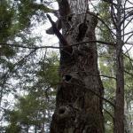 Giant old oak