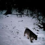 Bobcat on Turkey Hill