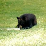 A black bear in Kenburn orchards