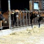 The Mapleline cows are all Jerseys; the breed is popular due to their ability to produce large amounts of milk with a high cream content.