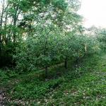 Rittenhouse Apple orchard