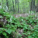Tiarella on McLennan Reservation
