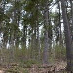 Hilltop pine stand