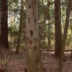 Snag tree left for wildlife habitat