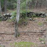 Like many, Payne's woods have a history of past agricultural use, indicated by the presence of old stone walls.